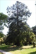 Image for Sequoia Sempervirens - Malmsbury , Vic, Australia