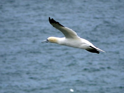 Gannet at Bempton Cliffs