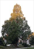 Image for Dawn Redwood - Lawrence Park, PA