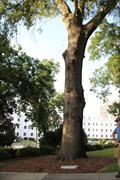 Image for Civil War Oak -- AL State Capitol grounds, Montgomery AL
