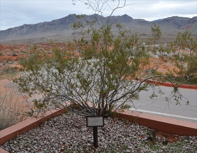 Creosote Bush ~ Valley of Fire State Park - Flora and Fauna