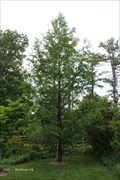 Image for Dawn Redwood - Acton Arboretum - Acton, MA