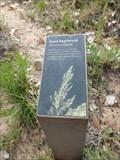 Image for Sand Sagebrush - Springdale, UT