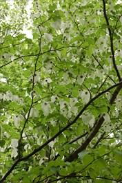 Näsduksträdet (Davidia involucrata var. vilmoriniana)