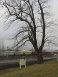Image for Monticello Convention Black Walnut threatened, Longview, WA
