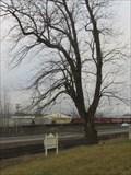 Image for Monticello Convention Black Walnut threatened, Longview, WA