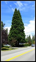 Image for A pair of Sequoiadendron giganteum at 2255 - 124 St — Surrey, BC