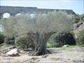 Image for Old Olive Tree near Pont du Gard - Remoulins/France