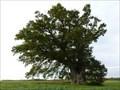 Image for Plassay oak - Le chêne de Plassay (France)
