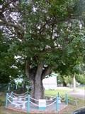 Image for Sand Box Tree - St. John's, Antigua