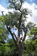 Image for Landmark Cottonwood Treated to Touch Up - Hemphill County, TX