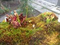 """Image for Insektivoren im Subtropenhaus """"Planten un Blomen"""" - Hamburg, Deutschland"""