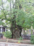 Image for Lime tree,  Wahlscheid, Germany