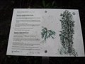 Image for Sequoia sempervirens  - Sintra, Portugal