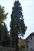 Image for Mammutbaum am Alten Burghof - Siebengebirge, Germany
