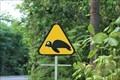 Image for Turtle crossing - Cluny beach - Sainte-Rose, Guadeloupe