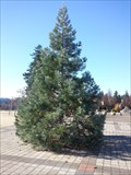 Image for Millenium Sequoia tree - Lake Oswego, OR