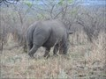 Image for Coveting Horns, Ruthless Smugglers' Rings Put Rhinos in the Cross Hairs  -  Kruger National Park  -  South Africa