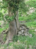 Image for Hungry Tree - Corfe Castle, Isle of Purbeck, Dorset, UK