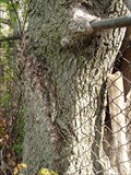 Image for Fort Ontario Fence Eating Tree - Oswego, New York