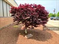 Image for Jenny Sengthavisouk dedicated tree - Woonsocket, Rhode Island  USA