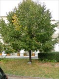 Image for Millennium tree - Kromeriz, Czech Republic