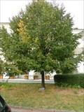Image for Millennium tree - Kromeriz, Czech Republic