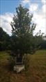 Image for Mercantile Marine memorial tree - Tonge Mill Memorial Park - Tonge, Kent