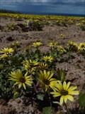 """Image for """"Cape Dandelion"""" flower field - Peniche, Portugal"""