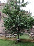 Image for A.E.Housman Cherry Tree - St.Laurence's Churchyard, College Street, Ludlow, Shropshire. SY8 1AN