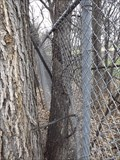 Image for Fence Eating Tree - Niakwa Rd - Winnipeg MB