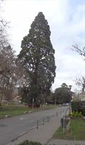 Image for Séquoia géant dans le parc Astrid - Namur - Belgique