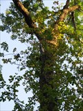 Image for Pumpkin Ash - Big Oak Tree State Park - Missouri