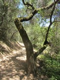 Image for Ohlone Trail Tree - Cupertino, CA