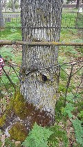 Image for Fence Eating Tree - Central Point Pioneer Cemetery - Central Point, OR