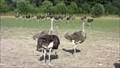 Image for Ostrich Farm - Straußenfarm Gemarkenhof, Remagen - RLP / Germany