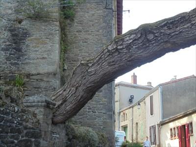 Un superbe pin qui commence à avaler le mur sur lequel il s