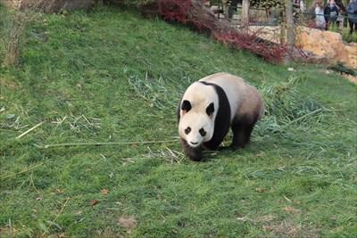 Une attraction sur ce zoo, les pandas géants.