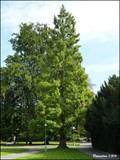 Image for Metasequoia glyptostroboides - Royal Garden (Prague Castle, Prague)