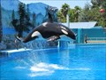 Image for Vallejo's Six Flags Under Fire For Orca's Living Conditions
