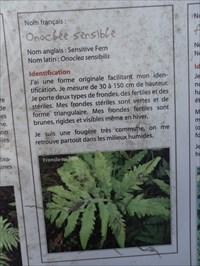 Onoclée sensible fougère commune qui se voie un peu partout dans les milieux humides.  Sensitive fern common fern which way around wetlands.