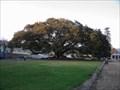 Image for Moreton Bay Fig - Santa Barbara, CA