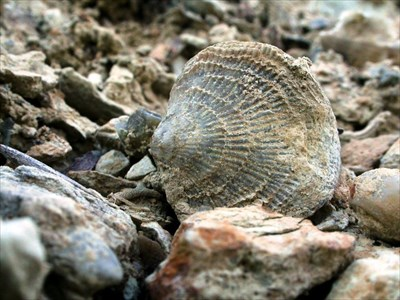 A typical brachiopod found at this site.