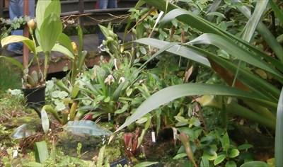 Carnivorous Plants (Fata Morgana) - Praha