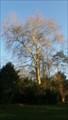 Image for Platane à feuille d'érable du parc de la Tour - Saint-Cyr sur Loire, Centre