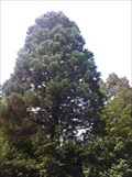 Image for Sequoiadendron Giganteum near the Motorway - Rheinfelden, AG, Switzerland