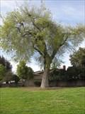 Image for Bicentennial Tree - San Jose, California