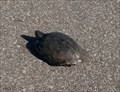 Image for Red-Eared Slider Crossing - Oklahoma City, Oklahoma