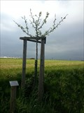 Image for Dedicated Trees-Appletree 'Grüner Fürstenapfel' - 96352 Effelter/Germany/BY