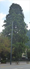 Image for Riesenmammutbaum im Fontanapark - Chur (CH)